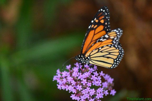 EC5_5_ ButterflyReleasePhotoCreditTina_VaLant.JPG