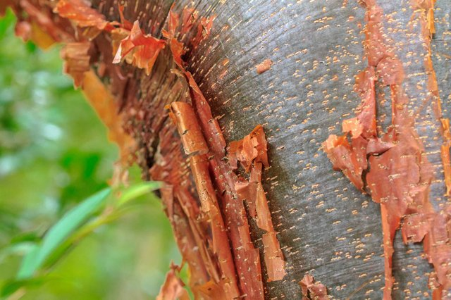 gumbo limbo tree LARGE_web.jpg