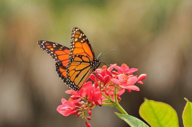 Gumbo-monarch butterfly LARGE_web.jpg