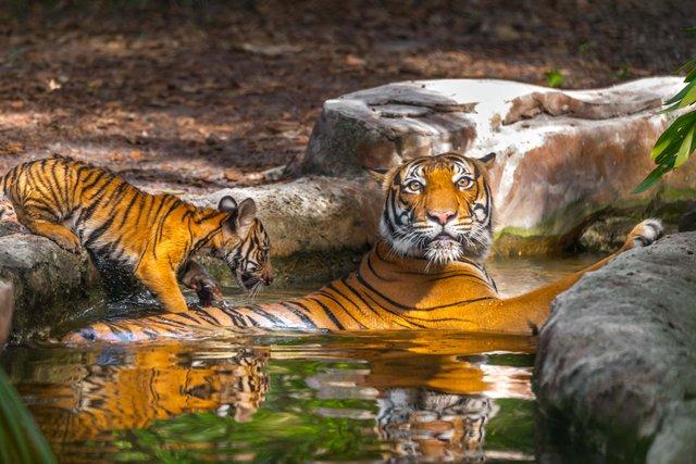 Api Malayan Tiger River Cub_web.jpg