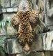 Fiona - Panamanian Jaguar 2_web.jpg