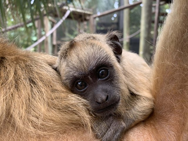 Baby Howler Monkey_web.jpg
