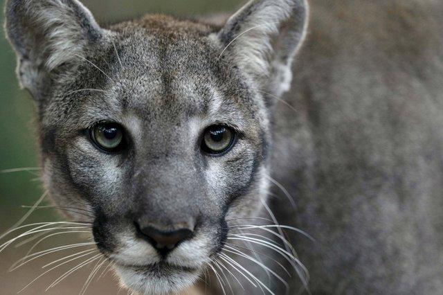 Credit Carlton Ward -Sassy - Florida Panther_web.jpg